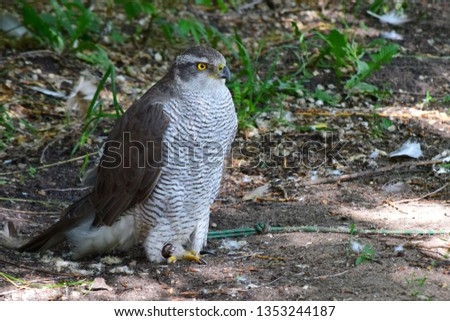 Falcons (lat. Falco) is a genus of birds of prey of the Falcon family, widely distributed in the world #1353244187