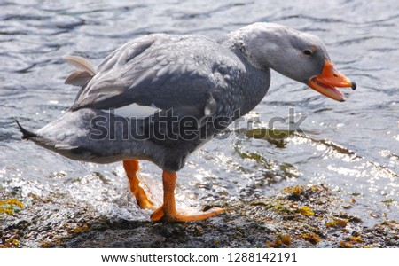 Falkland Steamer Duck, Tachyeres brachypterus, is a steamer duck native to the Falkland Islands in the southern Atlantic Ocean. It is one of only two bird species to be endemic to the Falkland Island