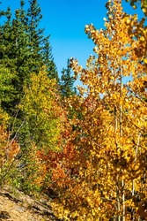fall autumn colors in the Colorado Rocky Mountains as the tree start to turn bright yellows and oranges in the start of the Fall season