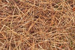 fall brown lying pine needles season background, autumn nature texture of a ground, fallen pine-needles backdrop