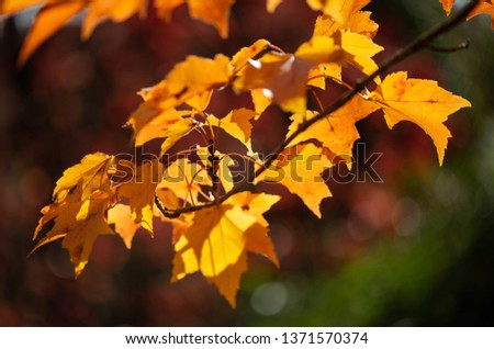 Fall colored maple tree leaves. This creative, colorful  bokeh shot shows off golden foliage against an abstract green backdrop holding within in the essence of Autumn