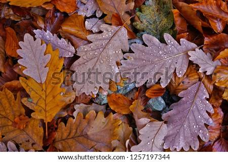 fall colored oak leaves, autumn leaves