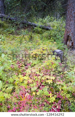 Fall colors in a forest in Alaska