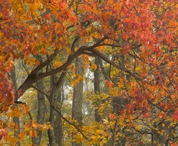Fall colors in Catoctin Mountain Park of the NPS are brilliant dispite a foggy misty day in late October.