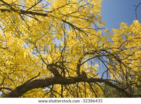 Fall colors in the Black Hills of South Dakota. Bright sun shines through a  Mountain Ash  tree with a clear blue sky in the background. - stock photo