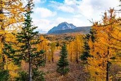 Fall Colours in Healey Pass Banff Alberta