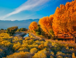 Fall Cottonwoods (Fremont Cottonwood), and Rabbit Bush, or Rabbit Brush grow together in the Owens River Valley, near Bishop, California, USA, with the Sierra Nevada Mountains in the background.