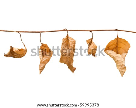 Fall dried leafs isolated on white background.