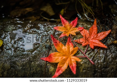 Stock Photo fall dry maple on the wet rock near water fall in  autumn .