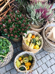 Fall flowers and decorations outide flower shop or garden center. Skimmia, heather and small pumpkins.