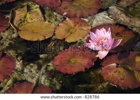 Fall flowers in a lily pond with decaying lily pads around them