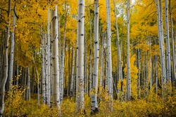 Fall foliage in Aspen Grove, Colorado, USA