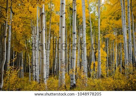 Fall foliage in Aspen Grove, Colorado, USA