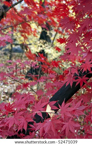 Fall foliage of Japanese maple tree in Central Park