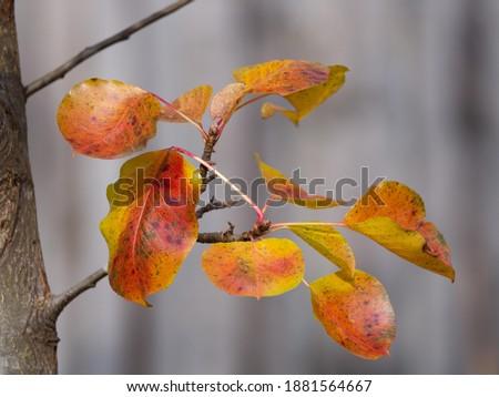Fall Foliage on a Bradford Pear Tree Photo stock ©