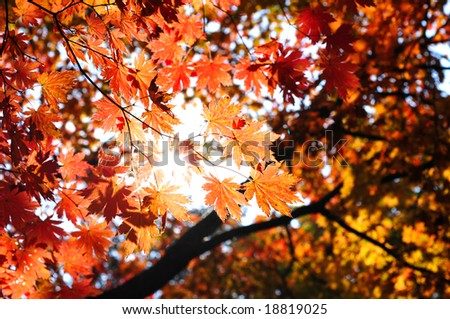 fall forest with sun light through the maple foliage