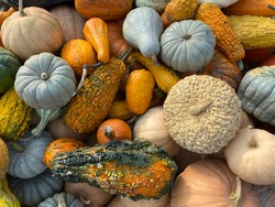 Fall Harvest Background with Colorful Varieties of Pumpkins, Squash and Gourds Laying in a Pile Shot from Directly Above