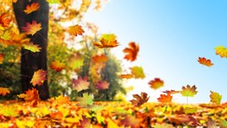 fall leaf in autumn, maple leaves falling down, blue sky, cheerful autumn day background