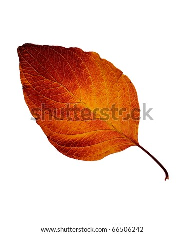 Fall leaf isolated on white background #66506242