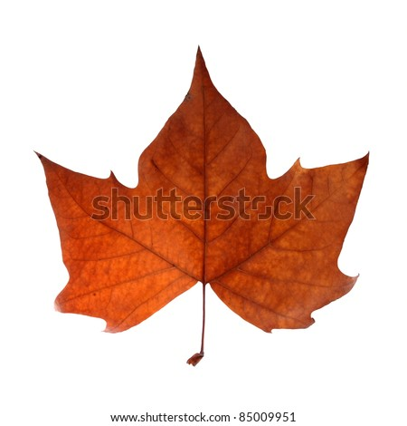 Fall leaf isolated over white with clipping path