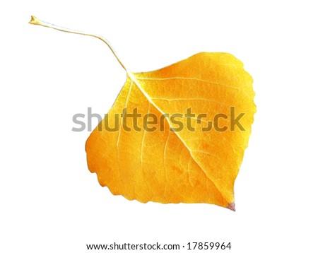 Fall Leaf on White Background