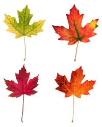 fall leafs isolated on white background