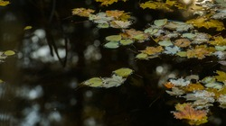 fall leaves floating on ponds water surface of small pond in nature