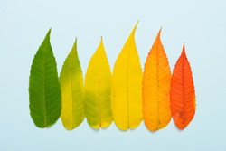 Fall leaves in a row gradient from green to red on blue pastel background top view