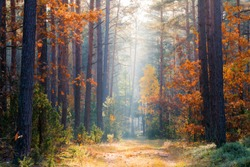 Fall nature. Fall forest. Forest with sunlight. Autumn tranquil background. Autumn scene.