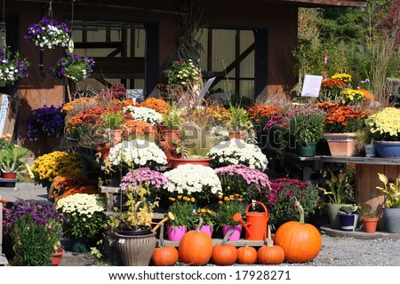 Fall plants, Mums & PUMPKINS AT A GARDEN CENTER IN Vermont.