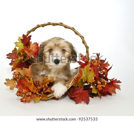 Fall puppy sitting in a basket with colorful leaves on a white background.
