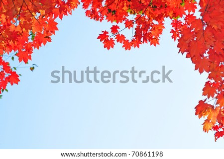 fall red maple leaves in the blue sky