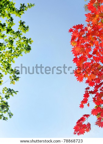fall red maple leaves in the blue sky #78868723