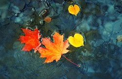 fall season concept. autumn maple leaves in puddle. autumn atmosphere image. maple leaves on water backdrop. copy space