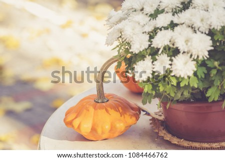 Fall season or Halloween table decoration on the table in the backyard or terrace. Small pumpkins and Chrysanthemums in the pot in autumn garden #1084466762