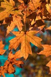 Fall Sugar Maple Leaves Closeup