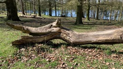 Fallen and rotting tree trunk in the shape of a dinosaur head