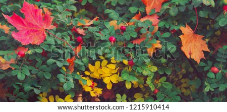 Fallen autumn leaves on a green bush rose hips. Colorful background of autumn maple tree leaves close up. High quality resolution picture. Multicolor foliage in the park. Autumn season concept #1215910414