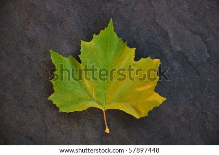 Fallen Autumn Maple Leaf
