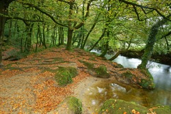 Fallen Beech leaves and moss covered trees in Autumn in, Draynes wood, Golitha Falls National Nature Reserve, Bodmin Moor, Cornwall, England, UK