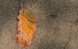 Fallen brown leaf placed on an asphalt background.