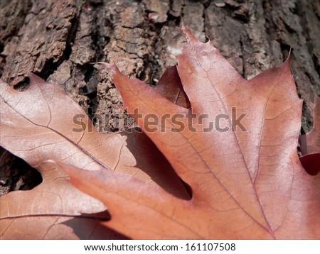 Fallen brown Oak leafs on the Oak tree peel describe autumnal atmosphere/Fallen Oak leafs