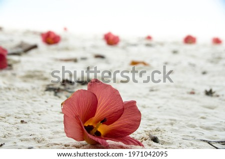 Fallen flowers of Hibiscus Tiliaceus or Sea hibiscus, (beach hibiscus, coast hibiscus, coastal cottonwood) on the white sand. Lipe, Thailand.