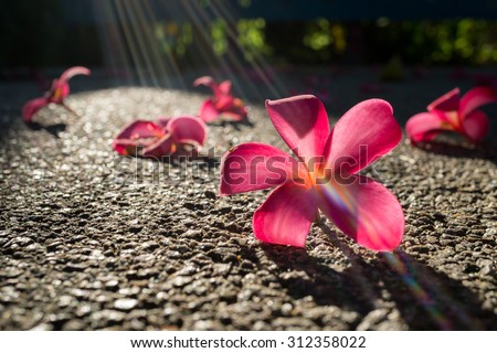 Fallen flowers of red frangipani (plumeria rubra) on asphalt in bright sunlight with sun rays