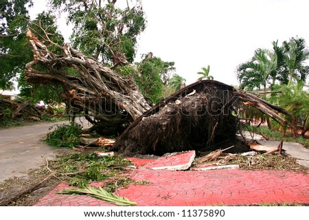 Fallen large ficus tree damaged by wind storm. - stock photo