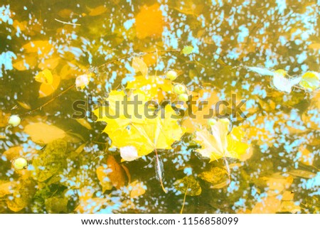 Fallen leaves and wild apple float on surface of pond and lie on bottom. Autumn in Park and on streets, defoliation, yellow leaves. Walking along city streets and alleys of Park