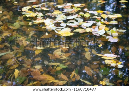 Fallen leaves float on the surface of the pond and lie on the bottom. Autumn in the Park and on the streets, defoliation, yellow leaves. Walking along the city streets and alleys of the Park