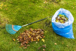 Fallen leaves in and near plastic bag and rake on still green grass background. Autumn landscape.  Fall season concept.