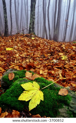 fallen maple leaf in a forest during autumn - stock photo