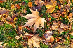 Fallen maple leaves on the grass. Autumn background.